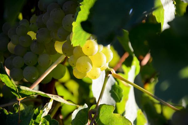 Grauer Burgunder unmittelbar vor der Ernte