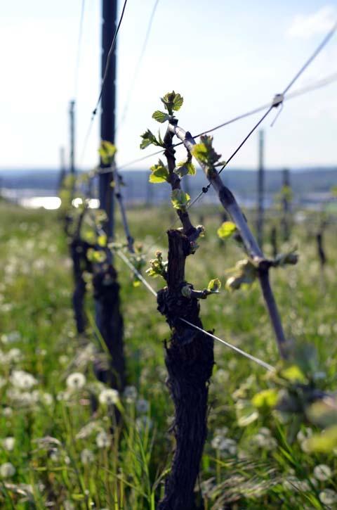Pinot Blanc - Der Weinberg